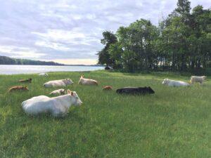 Kor vid havet i Roslagen